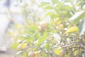 【A品】【有機JAS認定取得】瀬戸内産・農家さんこだわりの有機レモン