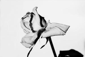 Rose Noir  #17