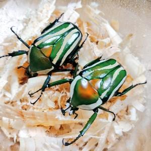 シロヘリミドリツノカナブン 幼虫 CB 2020.09~