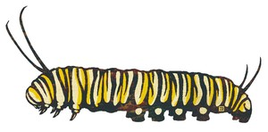 オオカバマダラの幼虫