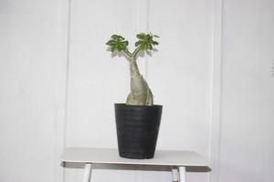 ビザールプランツ珍奇植物!コーデックス 塊根植物 アデニウム オベスム 6号