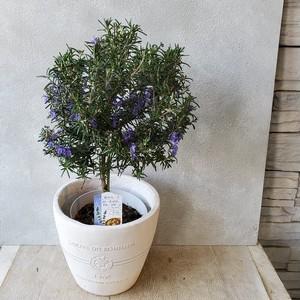 ローズマリースタンダード仕立て 鉢植え