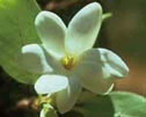 ブッシュガーデニア[Bush Gardenia]