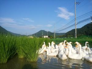 合鴨農法かもかも米 玄米5キロ(精米4.5キロ)