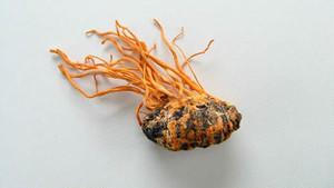 冬虫夏草「ミリタリス冬蟲夏草」乾燥現物 1個
