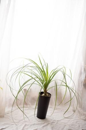 観葉植物 ノリナ(ポニーテール)ロングポット