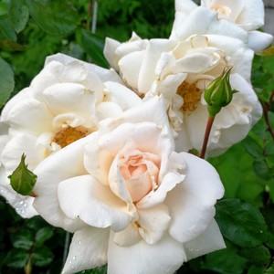 ニュー ドーン ホワイト New Dawn White