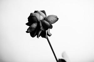 Rose Noir  #13