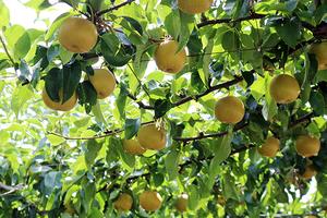旬の梨 大箱(8~10玉)