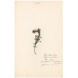 ドイツの古い植物標本 043
