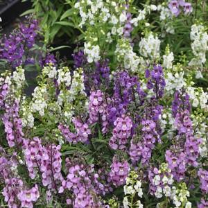 産直花の苗 アンゲロニア  Angelonia angustifolia