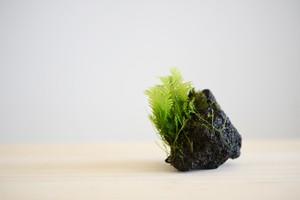 着生苔石Ssize #012901