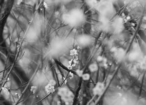 糸崎公朗『梅の花 P2210352』A4size
