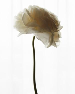 Ranunculus 001