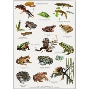 アート ポスター A4 サイズ KOUSTRUP & CO. - Frogs, toads and salamanders カエル ヒキガエル サンショウウオ
