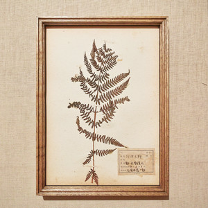 植物標本 フレーム 1929 vintage 18MAR-VSH33