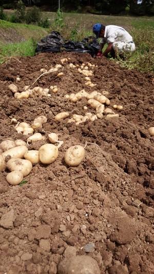 土遊野のジャガイモ キタアカリ5㎏ サイズミックス
