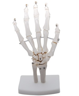 手関節モデル 手関節 手骨格模型 教育模型 右手 (手首 固定タイプ)