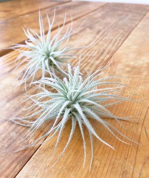 チランジア(エアプランツ)テクトラム Tillandsia tectorum