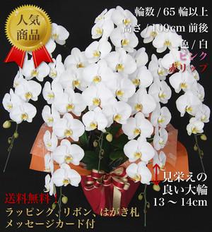 大輪胡蝶蘭 5本立ち プラチナクラス
