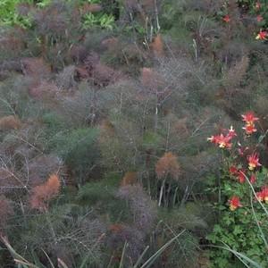 フェンネル ブロンズ Foeniculum vulgare var.dulce 'Rubrum'
