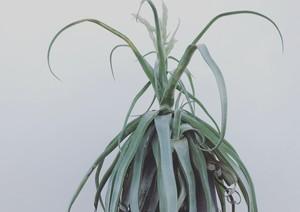 [Tillandsia]Streptophylla giant  ティランジア ストレプトフィラ ジャイアント フォーム