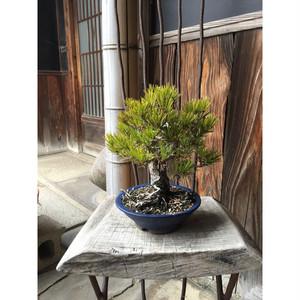 花澤明春園   香川の盆栽 ストア