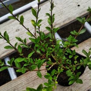 紅花白鳥木10.5cmポット苗
