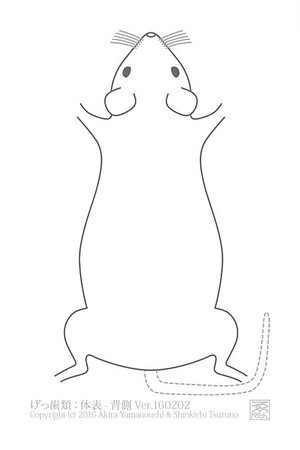 ゑぺたん:げっ歯類:体表-背側