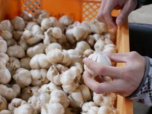【有機栽培・送料無料】滝川農場の有機JAS完熟ニンニク(10kg)
