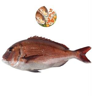 ほのかに柑橘の香り「みかん鯛」丸ごと1尾・冷蔵