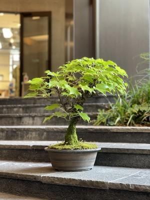 ナツヅタ盆栽(送料税込)# SL