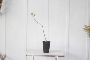 ビザールプランツ珍奇植物 コーデックス 塊根植物  バオバブ 4.5号