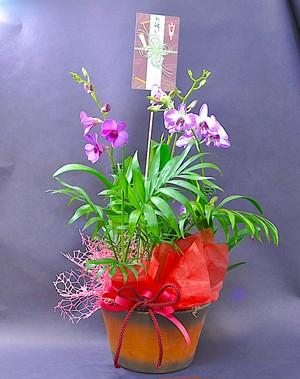 C0502) 敬老の日 / ミニデンファレ 花鉢ギフト