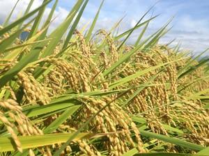 玄米5kg(農薬・化学肥料不使用、はざ掛け米)