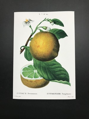 ボタニカルイラストレーション/グレープフルーツ/レプリカ