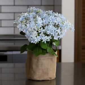 【母の月】紫陽花の新品種「グリッターホワイト」