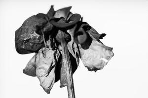 Rose Noir  #20