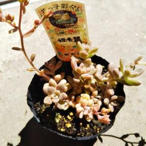 姫秀麗9cmポット苗