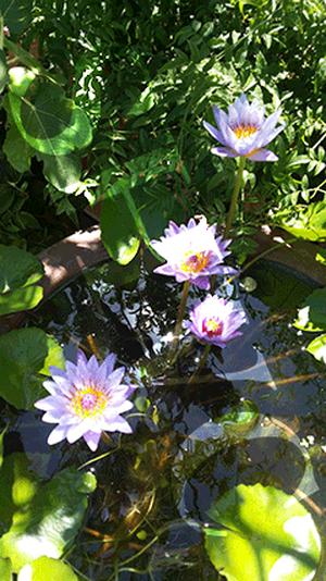 写真素材:花シリーズ 睡蓮の花(スイレン):43101.jpg