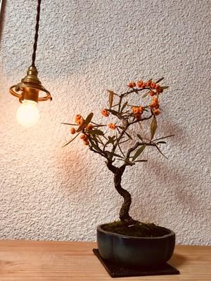 タチバナモドキ ミニ盆栽