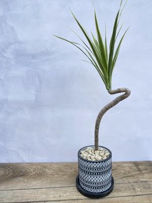 【送料無料】ドラセナ コンシンネ ホワイボリー 3.5号 曲がり 陶器鉢 黒 個性的 デザイン インテリア