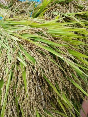 新米 古代米・赤米(もち米・無農薬・無化学肥料・稲木干し)1㎏