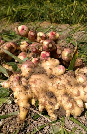 【高知産】農家直送 無農薬しょうが 1kg
