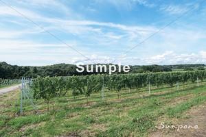 ワインぶどうの景色 #001
