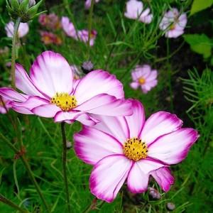 高性コスモス ピンクピコティー  Cosmos bipinnatus 'Pink pikoty'