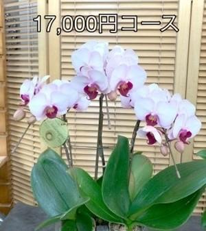 【店頭渡し】おまかせ胡蝶蘭 鉢植え A-69