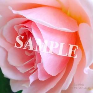 写真 薔薇『ルイーズト・マリアック』