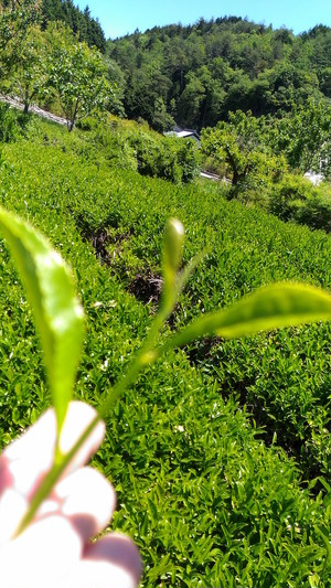 里山でお茶摘み体験