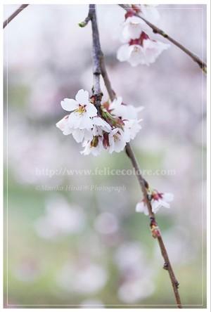 ポストカード*【桜が咲いたら】